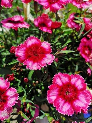 Blütenpracht in pink