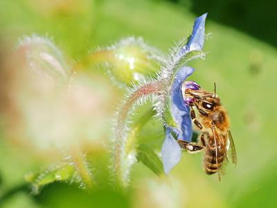 wildbiene in aktion