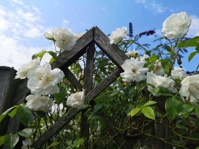Weiße Kletterrosen am Zaun