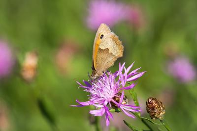 Ochsenauge auf Flockenblume