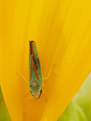 rhododendronzikade auf sonnenblumen blatt