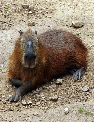 Das Capybara aus Uruguay