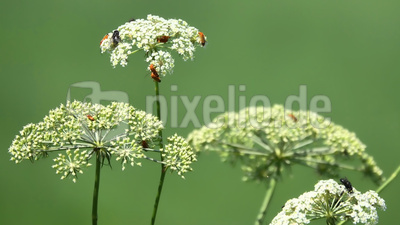 Wilde Möhre - Insektenbar
