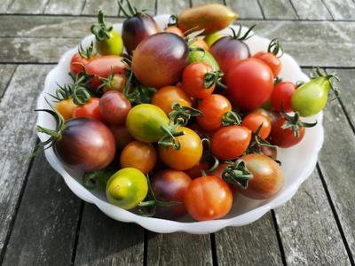 Bunte Tomatenernte