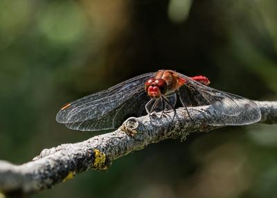 Blutrote Heidelibelle (2)