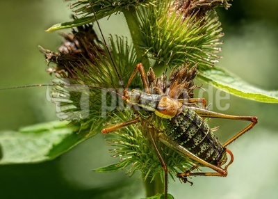 Nadelholz-Säbelschrecke (3)