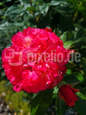 Rote Rosenblüte
