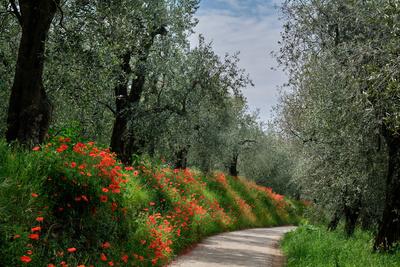 Mohn im Olivenhain