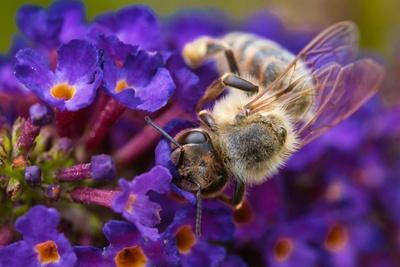 Biene auf Blume 2