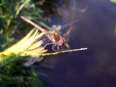 Libelle an unserem Teich