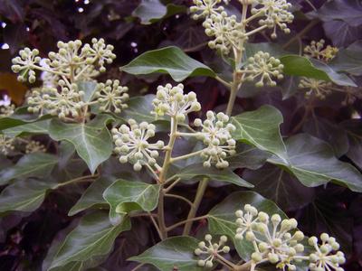 Efeu (Blüten) - Hedera Helix