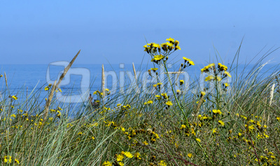 Blütenpracht in den Dünen . . . .