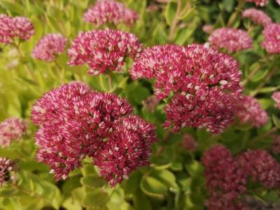 Blüten der Fetthenne