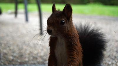 Eichhörnchen schaut durch Fenster