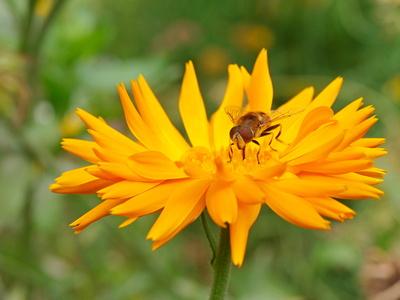 Schwebfliege ...Calendula