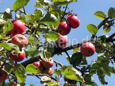 Die Apfelernte steht bevor