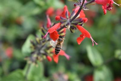 Biene im senkrechten Anflug