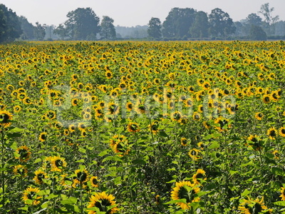 das sonnenblumen feld