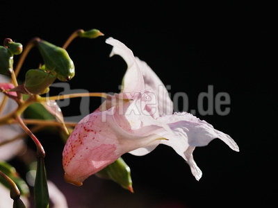 springkraut zartrosa