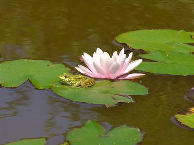 Frosch mit rosa Seerose