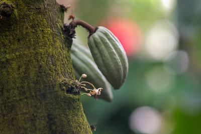 Kakao Pflanze Blüte