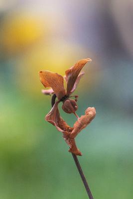 Moorpflanze Knospe