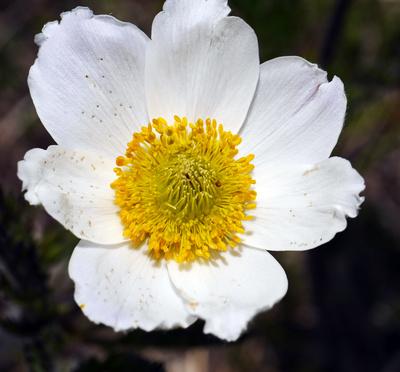 Alpenblüte II