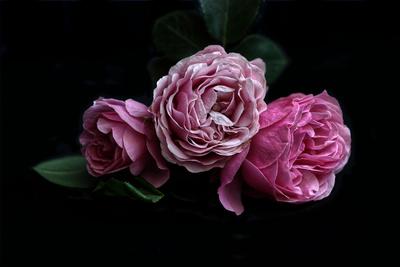 drei rote Rosen