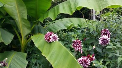 Dalien Blüte auf Bananenblatt