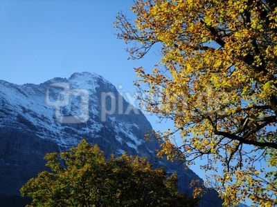 Herbstbaum vor Eiger