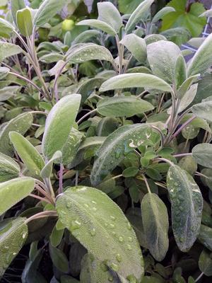 Salbei (Salvia officinalis)