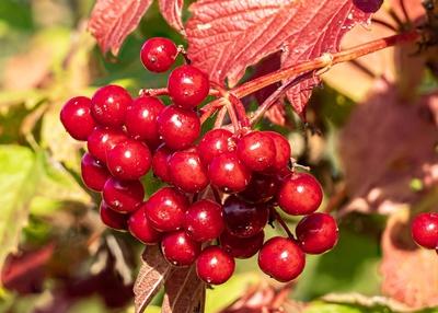 Rote Perlen im Herbst