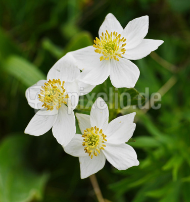 Alpenblüten