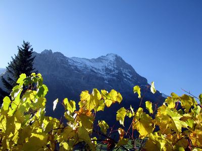 Herbstlaub vor dem Eiger