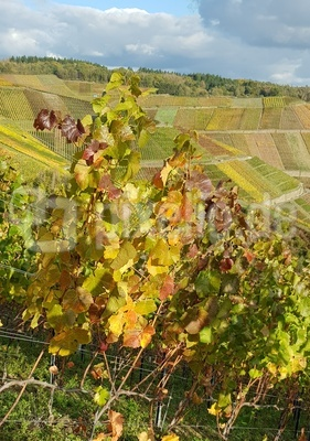 Herbstimmung in den Weinbergen an der Ahr