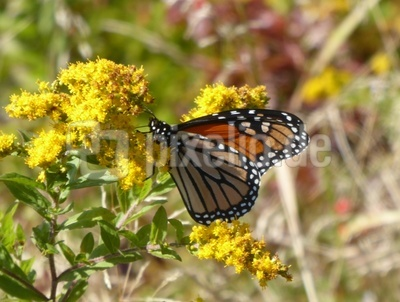 Monarchfalter (USA)