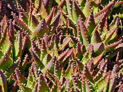 Kaktuskolonie im Freien