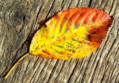 Herbstblatt auf Holz