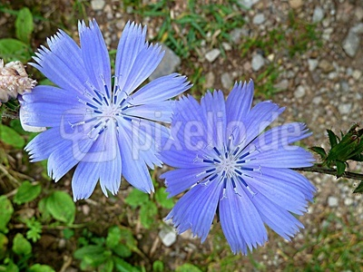 Zartlila Blüten