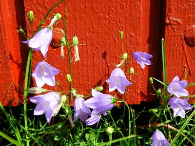 Zartlila Blüten vor rotem Holzhaus