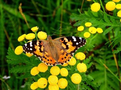 Schmetterling auf Rainfarn