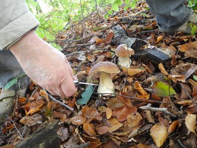 Ein Pilzsammler bei der Arbeit