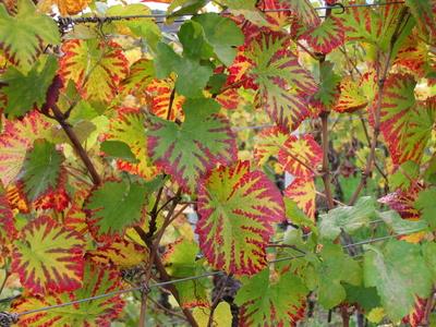 Herbstliche Rebenblätter