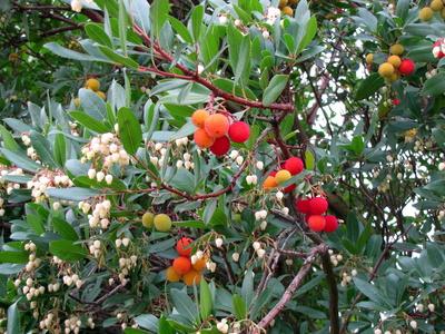 Frucht und Blüte am Erdbeerbaum