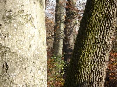 Alte verbundene Baumstämme