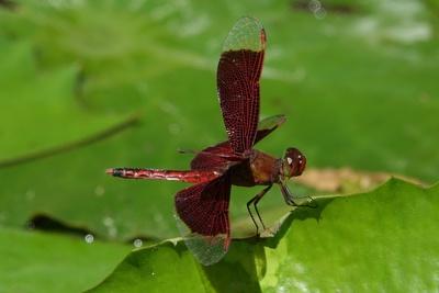 Rote Flügellibelle II