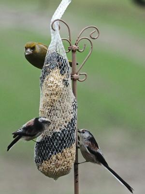 grünfink mit schwanzmeisen