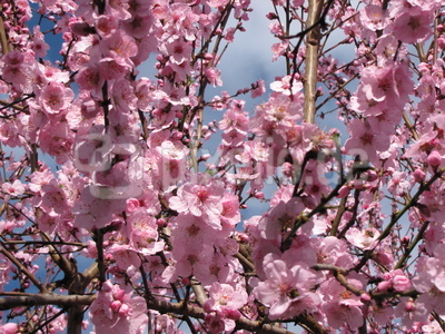 Mandelbaum - ein Traum in rosa