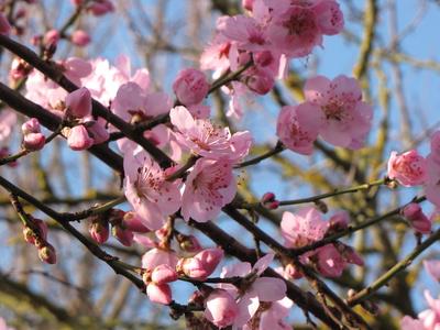 Rosa Blütentraum - Mandelbäumchen
