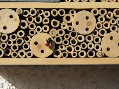 Mauerbiene bei der Arbeit